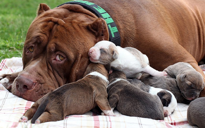 Worlds Largest Pit Bull Is Now A Proud Father Of A Cute Fest Of Eight