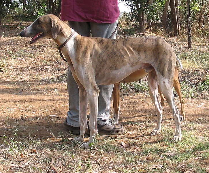 10 Indian Dog Breeds That Are Dying Out Because Of Our