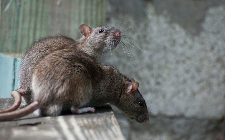 Image result for rats on railway station