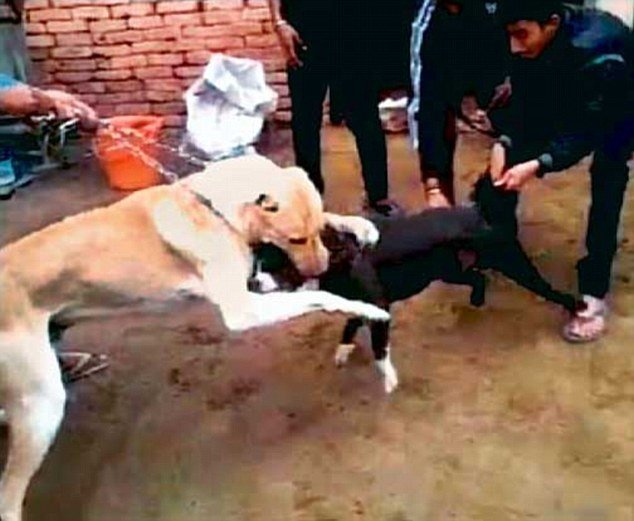 Dogfights Are A Flourishing Business In Delhi As Dog Owners Force