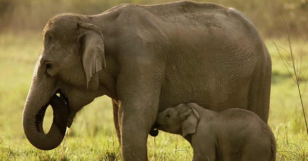 This Video Of A Herd Of Elephants Mourning The Death Of A Baby Elephant Will Break Your Heart