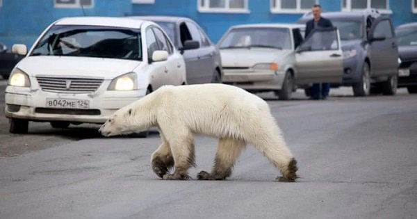 Starving Polar Bear Wanders Into Siberian City 100s Of Miles Away From Habitat In Search Of Food