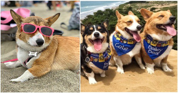 Over 1000 Corgis Partied On A San Francisco Beach, Officially Making It The Happiest Place On Earth