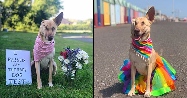 This Doggo Survived 17 Bullet Wounds, A Maimed Ear & Eye To Become A Therapy Dog & Help Hoomans