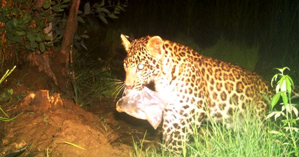 This Viral Image Of A Leopard Chewing On Plastic Shows The Grim Reality Of Pollution In Our Country
