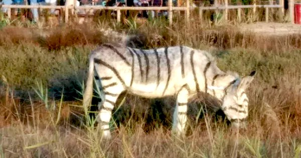 Donkeys Were Painted With Black Stripes To Look Like Zebras For A Safari-Themed Wedding In Spain