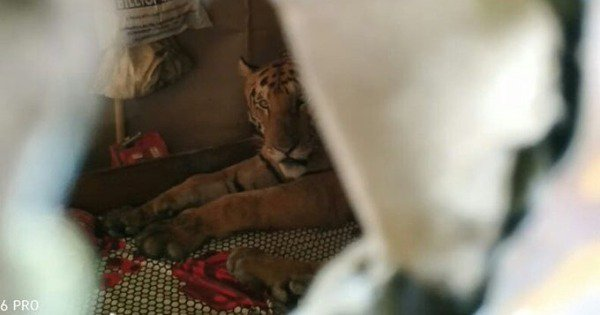 Tiger Found Resting On A Bed In A Shop In Assam, After It Fled Assam's Flooded Kaziranga
