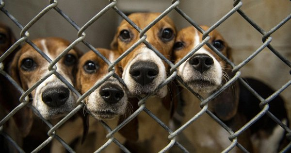 Freed From A Testing Lab, These 21 Beagles Get Another Chance At Life & Are Now Looking For Homes
