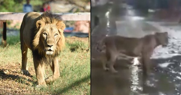 Residents Shocked As 7 Lions Find Their Way To The Streets In Gujarat's Junagadh