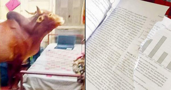 Cow Gatecrashes IIT-Bombay Boys Hostel, Caught On Video Eating Pages From A Book