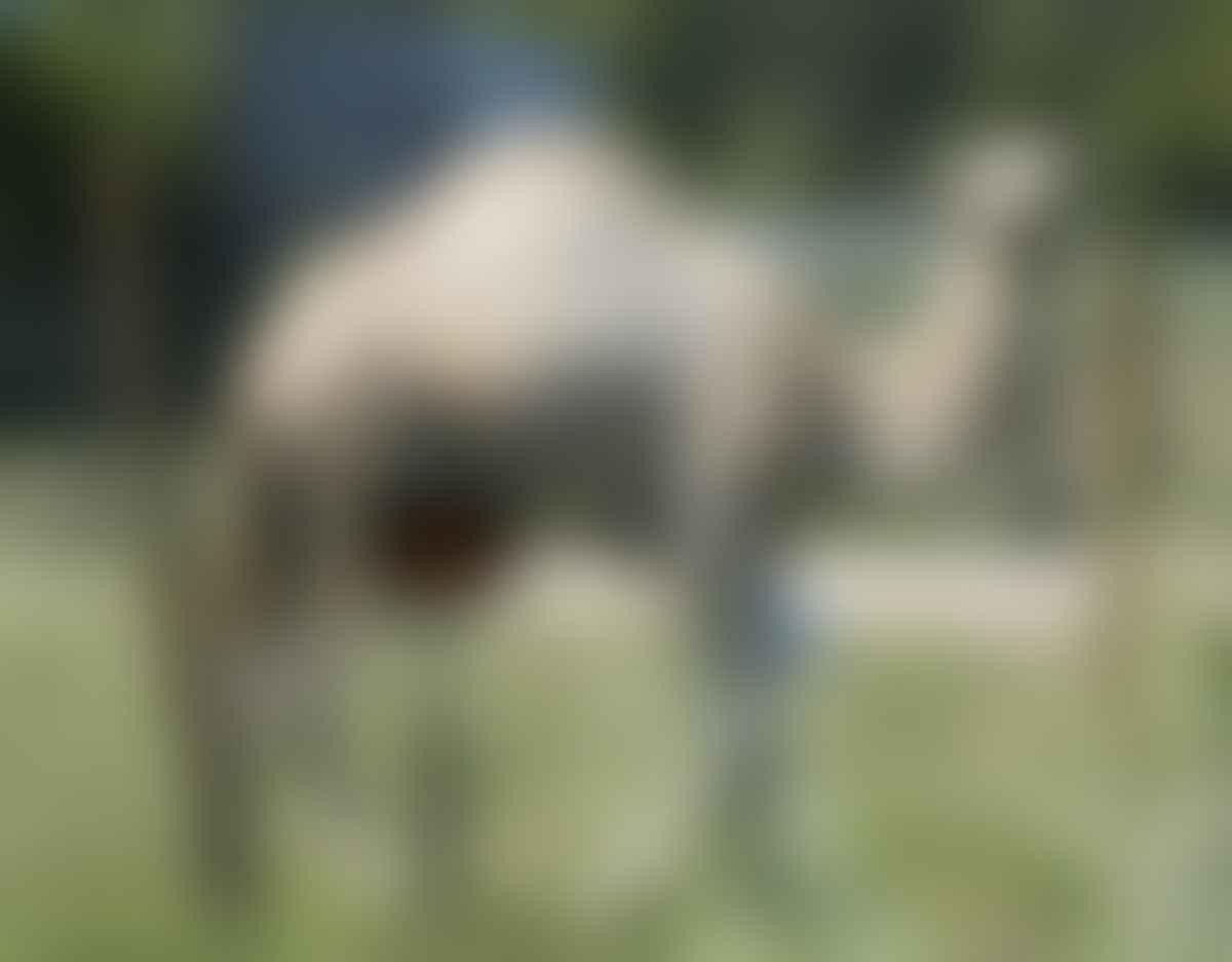 Camel Caspar bit by woman