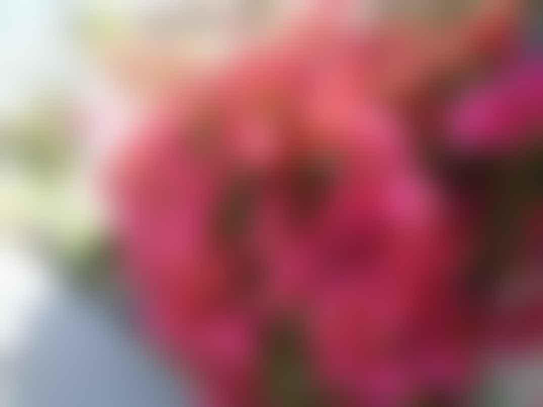Bougainvillea flowers in Delhi