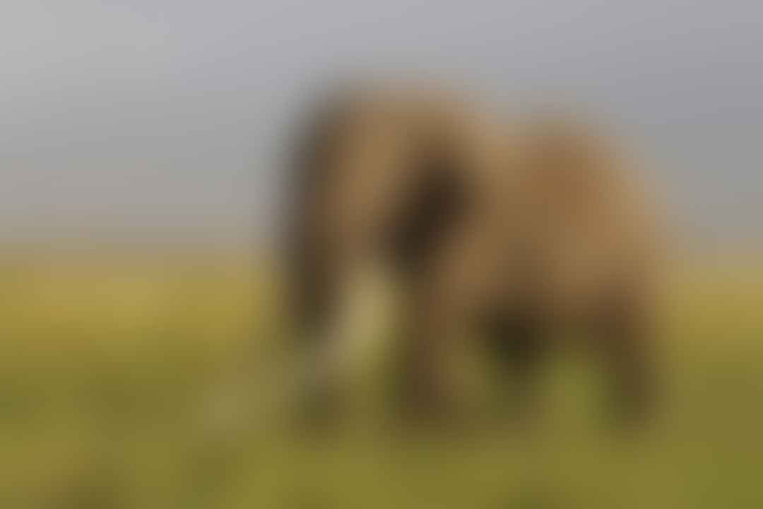 Tim, the great tusker elephant in Kenya