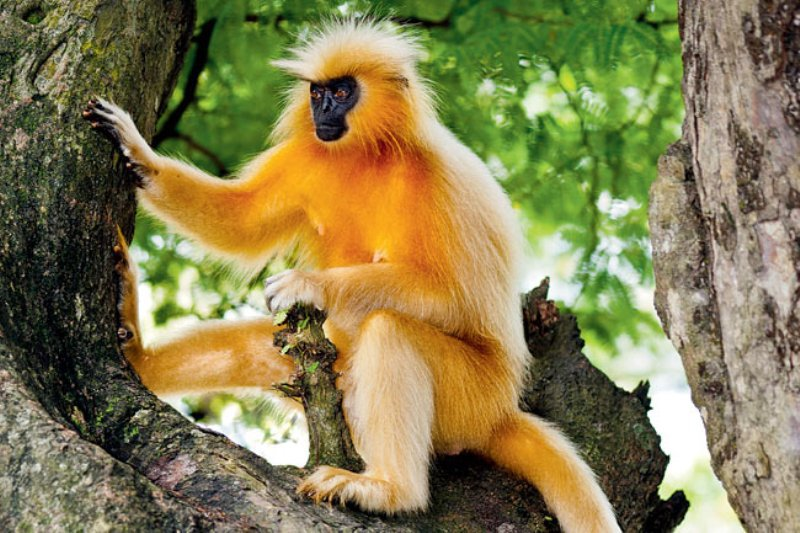 Image result for Last Golden Langur dies