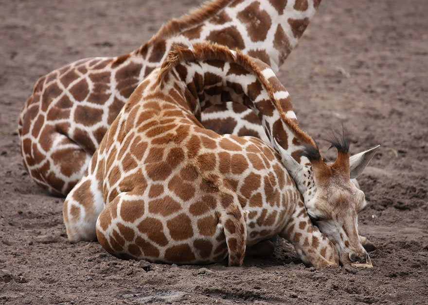 Pics Of Giraffes Sleeping In Uncomfortable Positions.